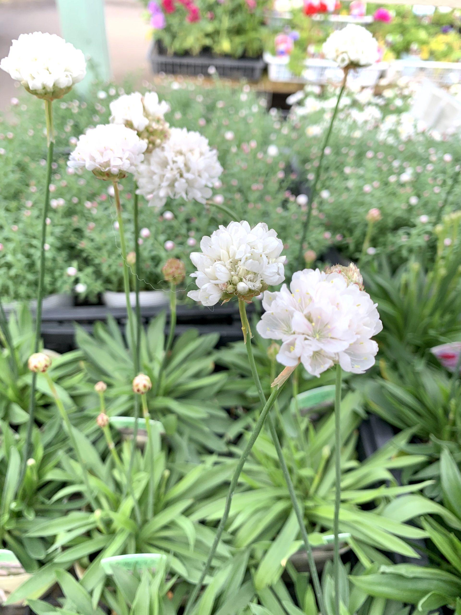白い花がかわいいアルメリア
