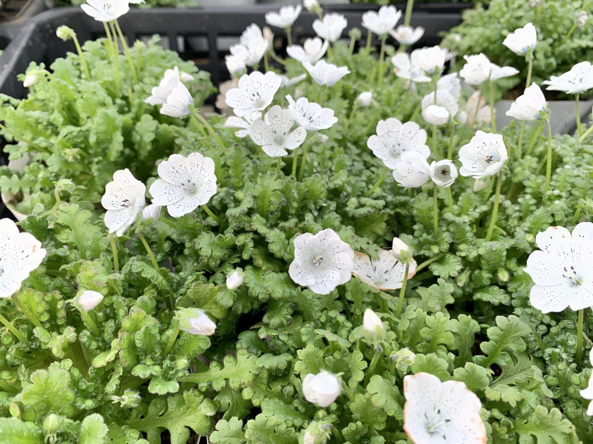 白く小さな花がたくさん咲いているネモフィラ・スノー