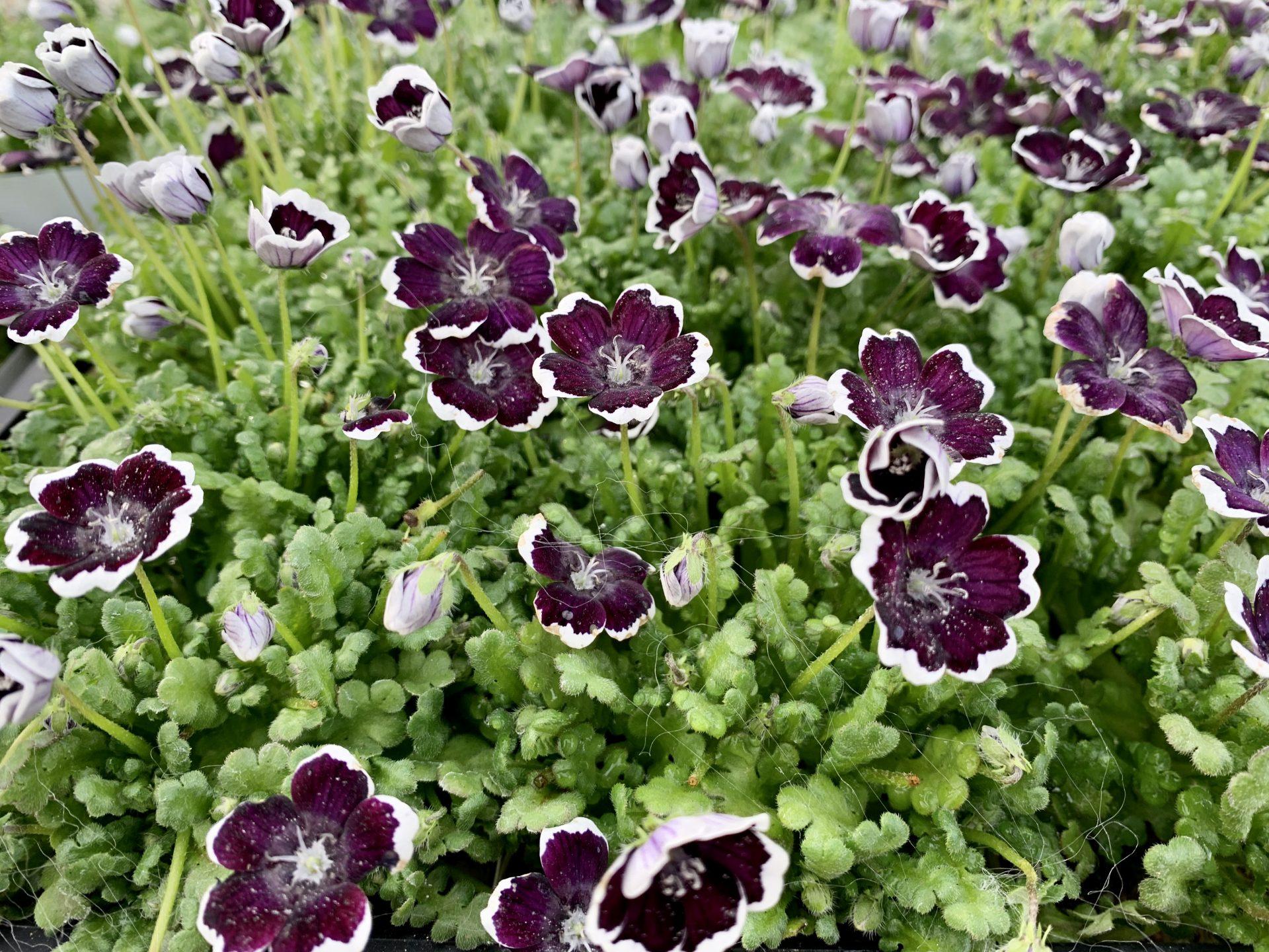 濃い紫いろのようなネモフィラ・ブラック