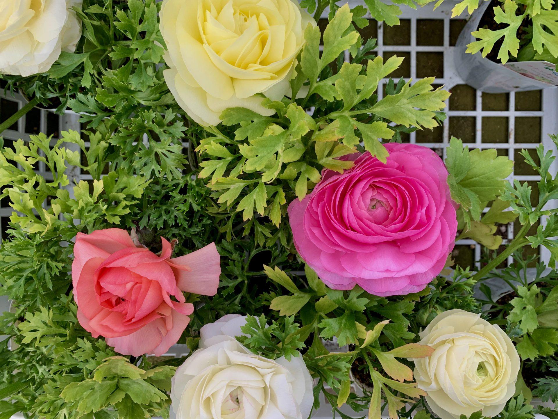 豪華なフリルが美しい淡いピンクなどのラナンキュラス