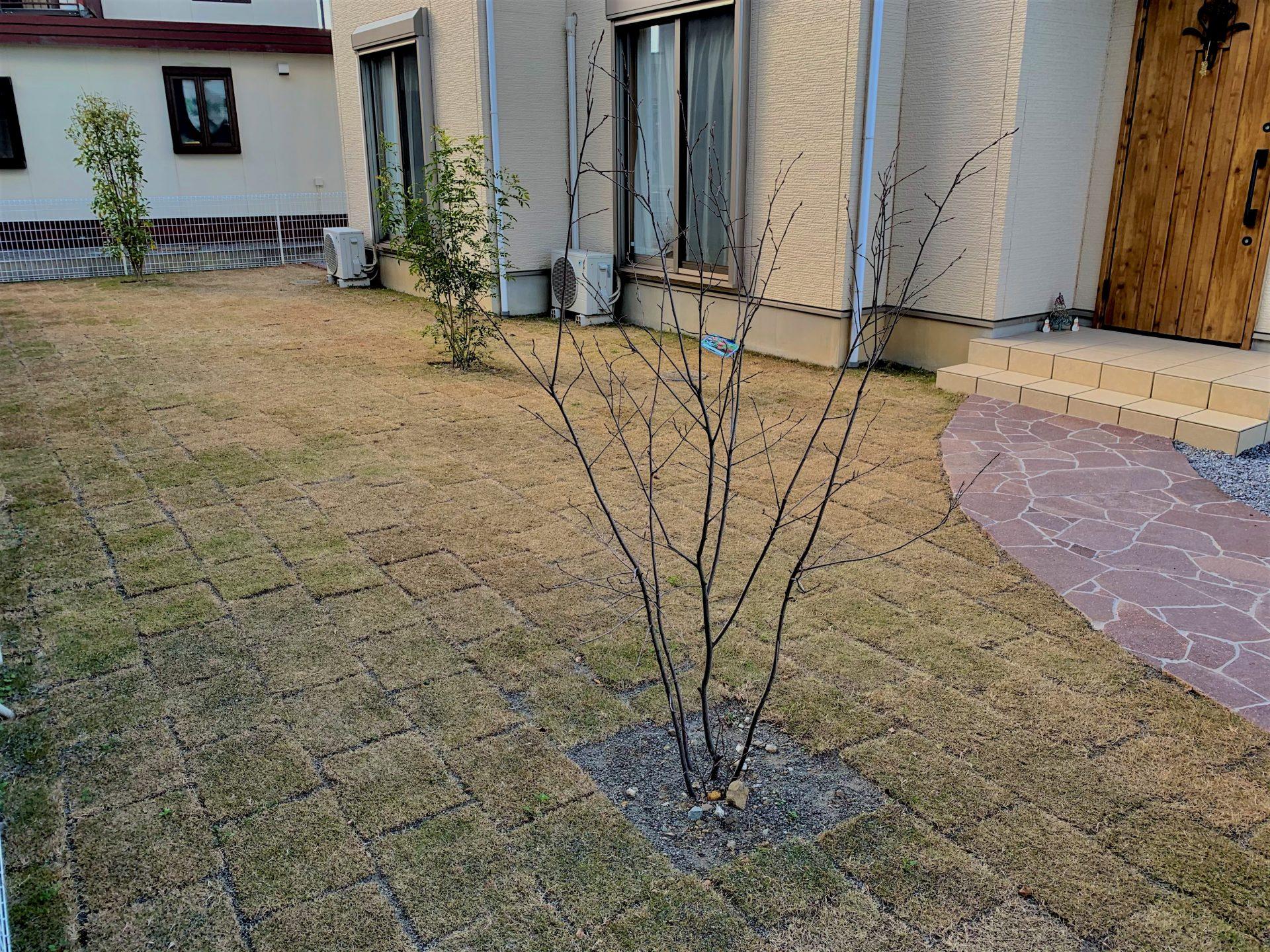シマトネリコやジューンベリーの植木と芝の庭