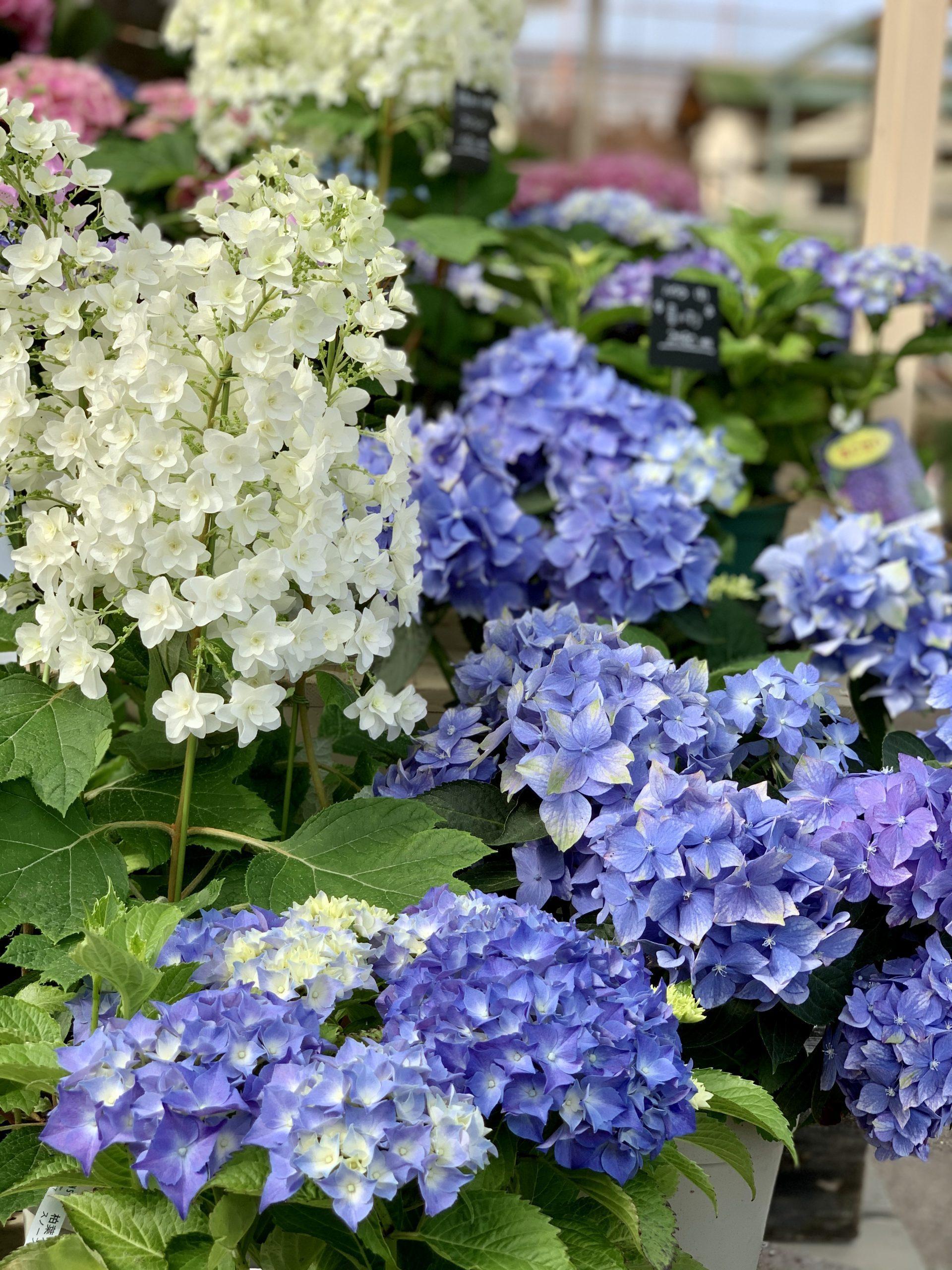 水色の紫陽花と柏葉紫陽花
