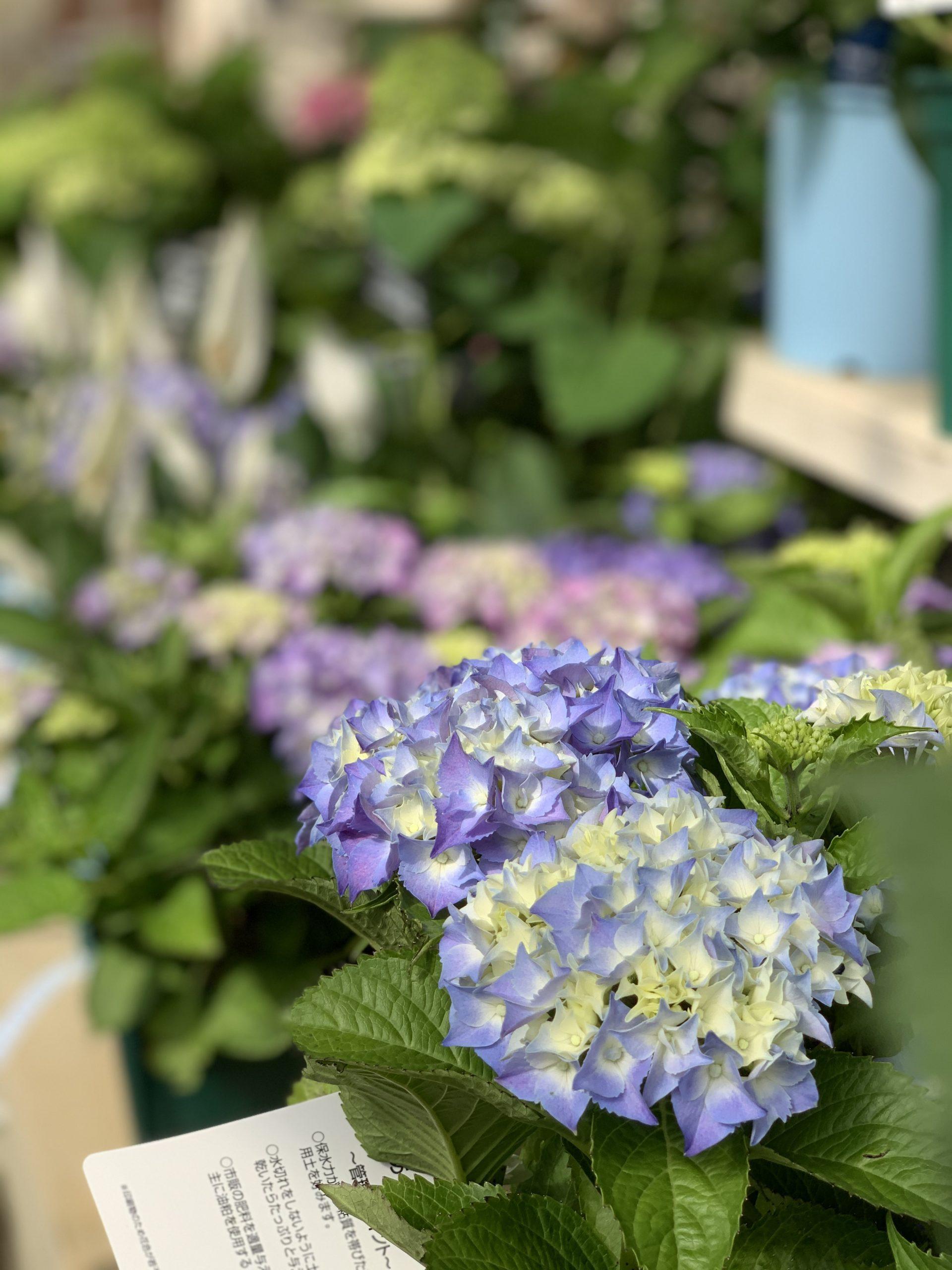水色の紫陽花アップ