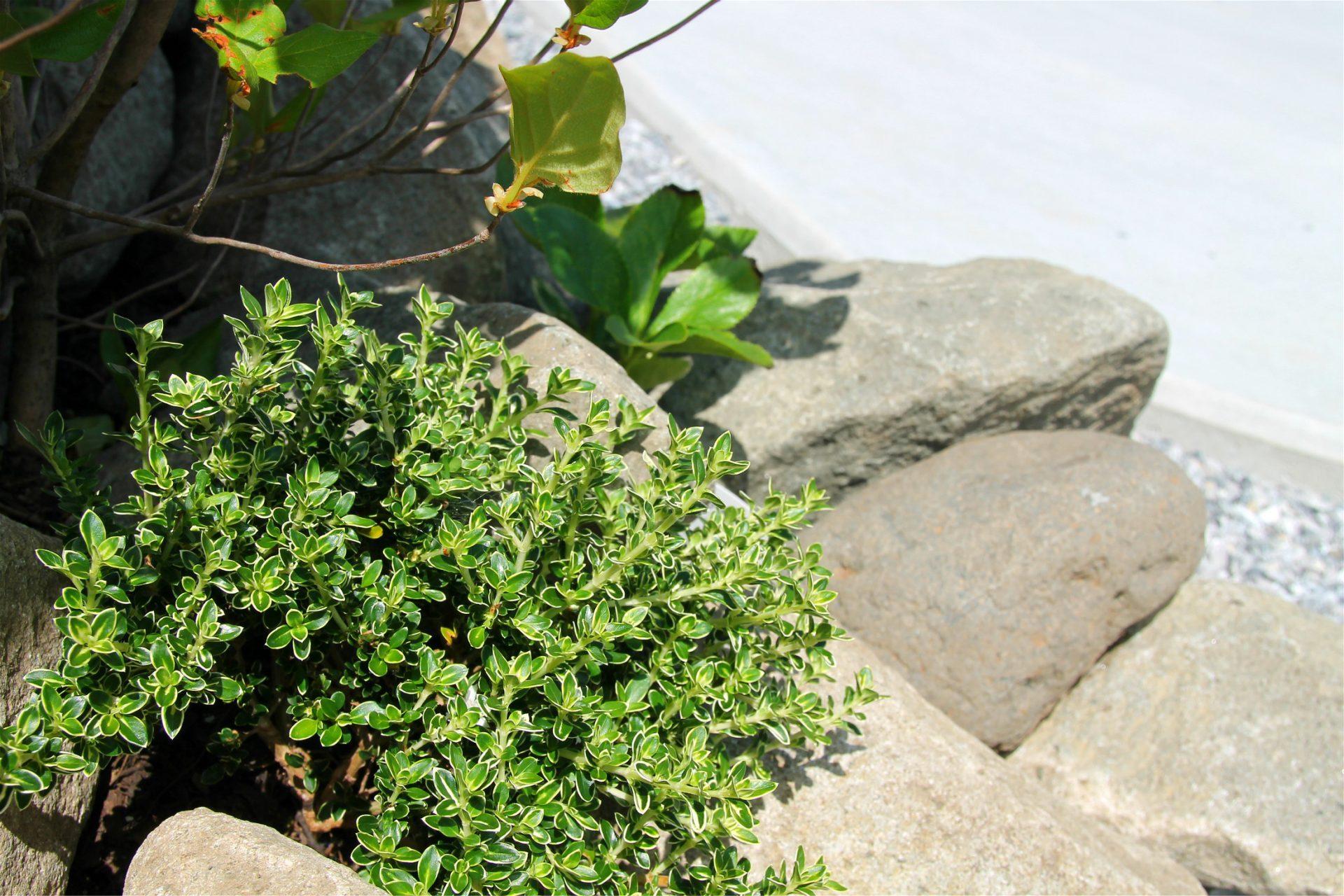 ロックガーデンの植栽